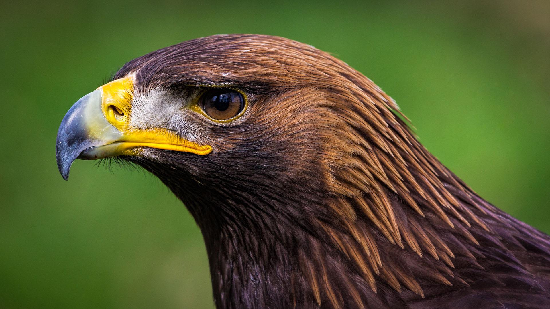 Steinadler (Aquila chrysaetos) by Michael Weidemann / Animals - 2015 ... Street