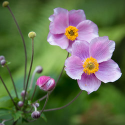 Anemone hupehensis vel japonica