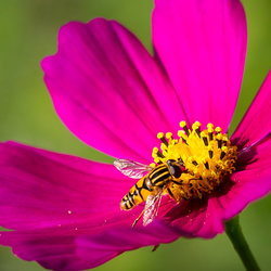 Cosmos bipinnatus with bee
